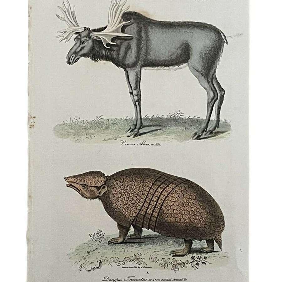 Natural History Lithograph 1808 By G Kearsley Moose & Amardillo.