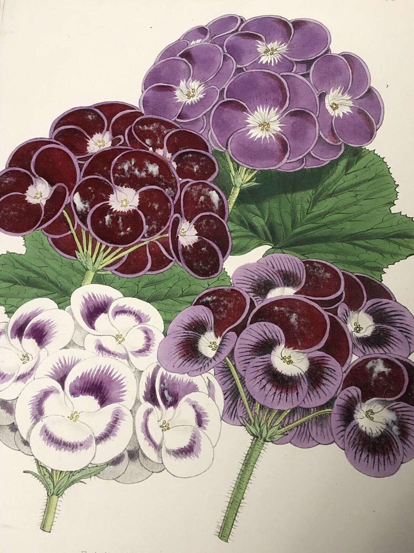Antique Botanical Lithograph W.G Smith Pelagonium