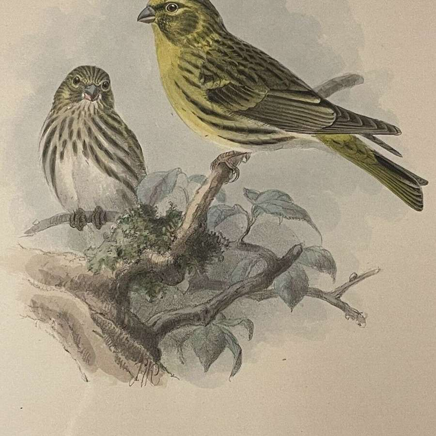 Hand coloured lithograph Serin Finch