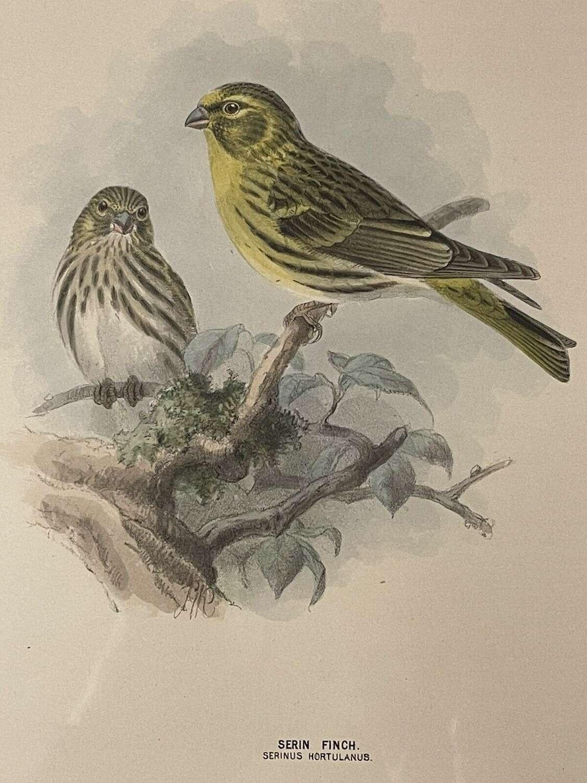 Hand coloured lithograph Serin Finch
