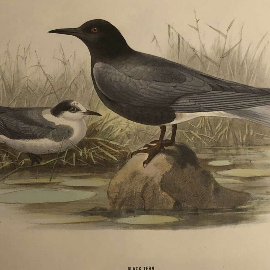 Black tern hand coloured lithograph