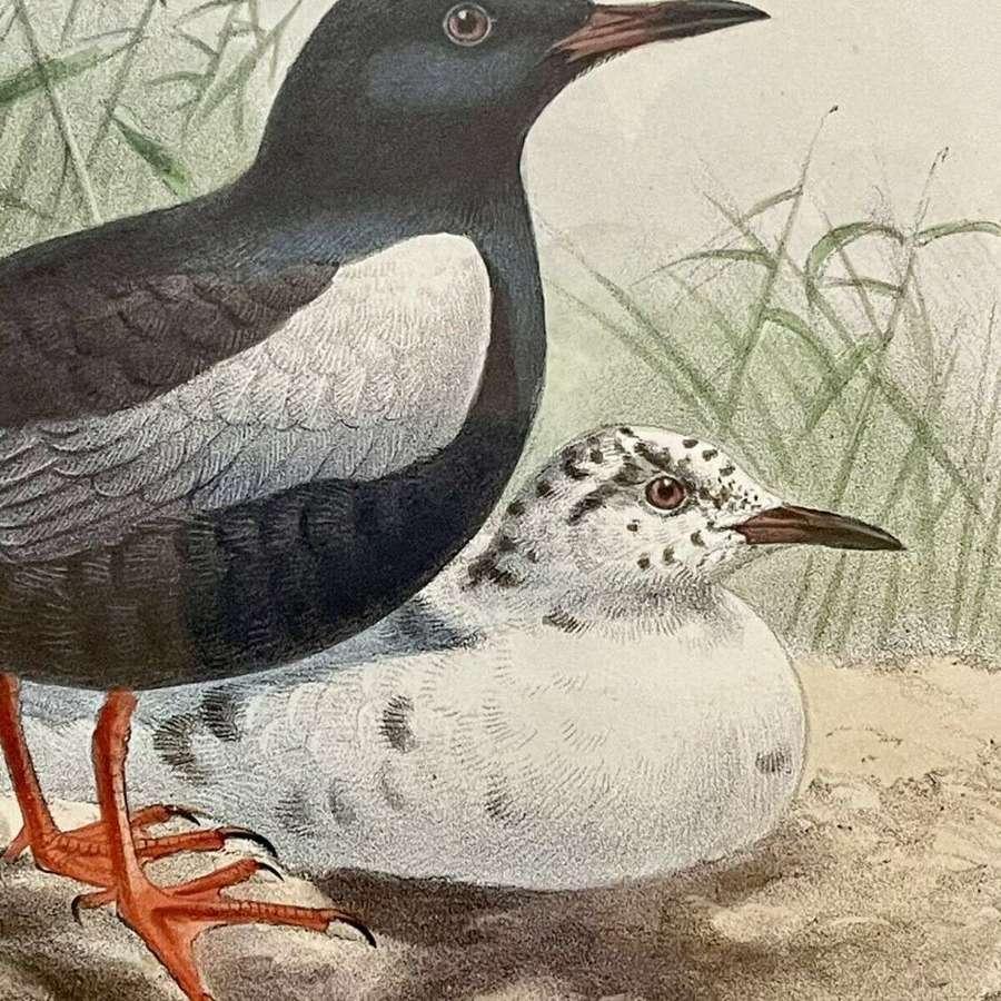 Original lithograph White winged black tern