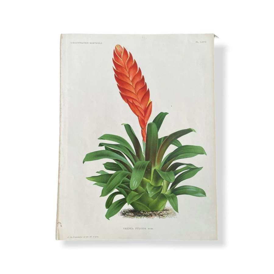 Botanical lithograph Bromeliad