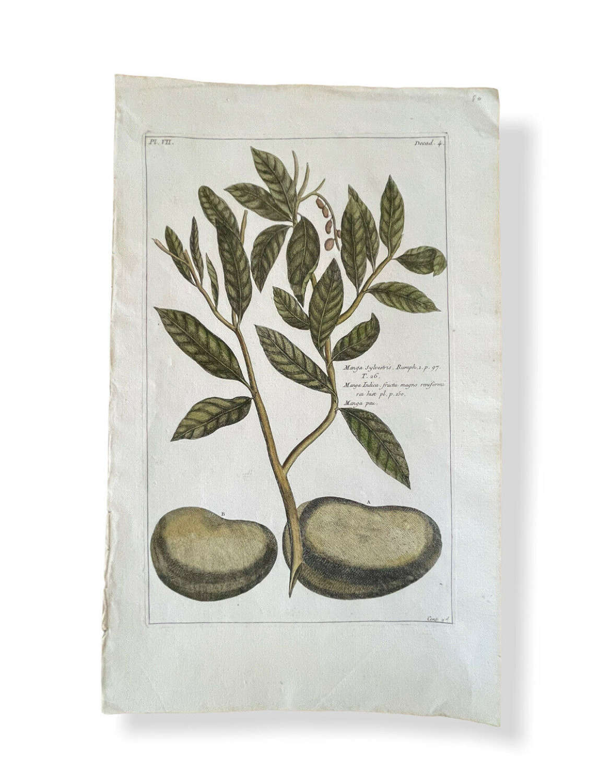 1783 original engraving Pierre Joseph Buchoz botanical plate of Mango