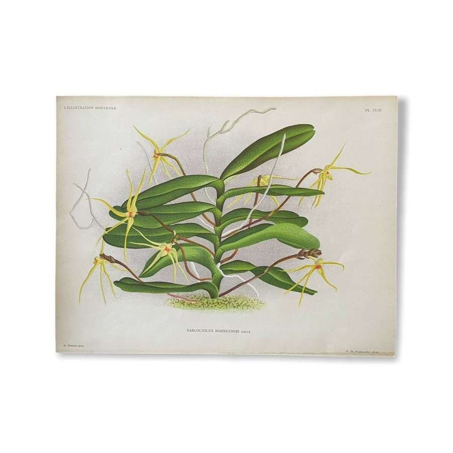 Botanical lithograph Butterfly Orchid