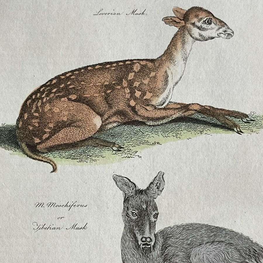 Natural History lithograph Musk