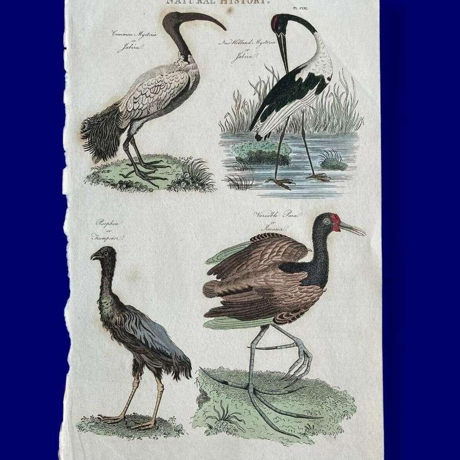 Natural History lithograph Stork