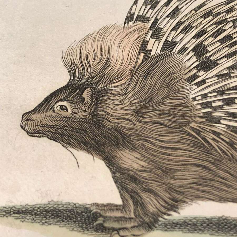 Antique lithograph of the Porcupine by George Kearsley