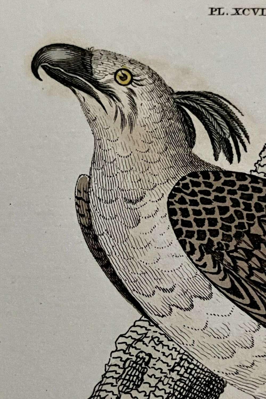 Antique Print Imperial Eagle & Long Legged Falcon G Kearsley 1810