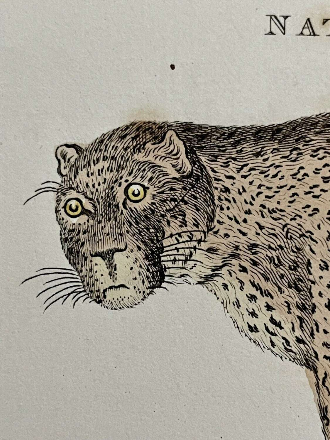 Antique Print Gorge Kearsley 1810 of aLeopard and Tiger
